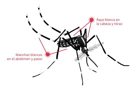 Lucha contra el mosquito tigre en Alguazas y Ceutí