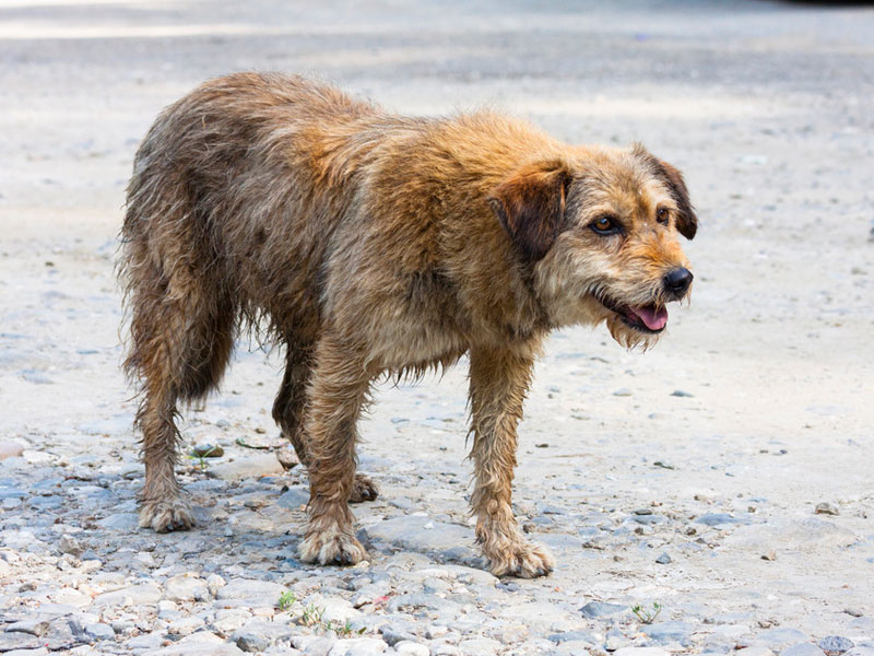 Tres perros pitbull destrozan la cara a un joven en Torrelaguna